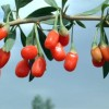 Amazing anti aging benefits of goji berries
